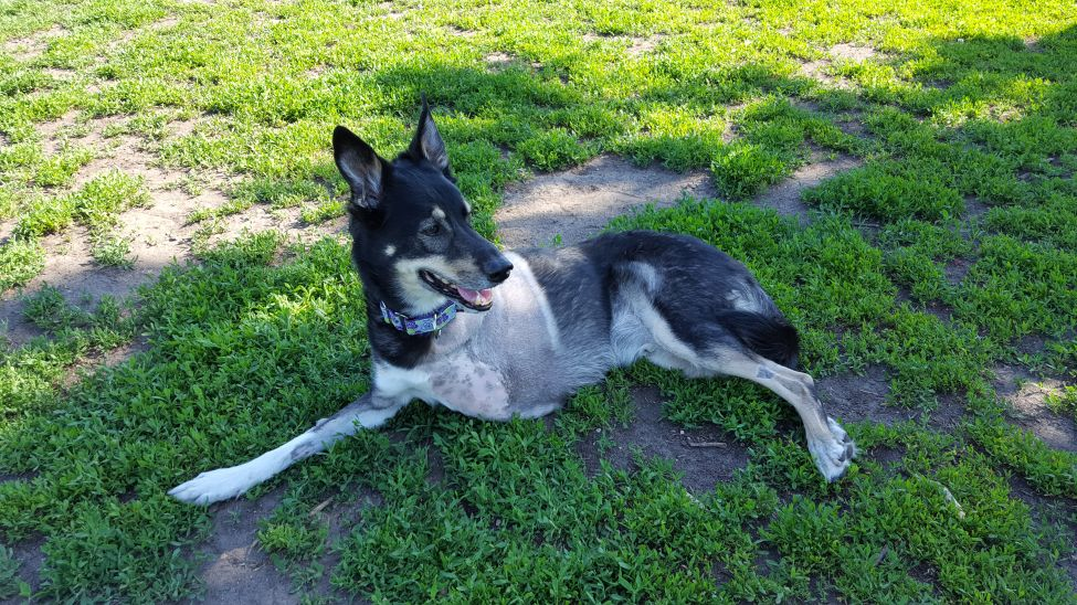About a month after his last visit to the dog park, Pofi returns as a Tripawd